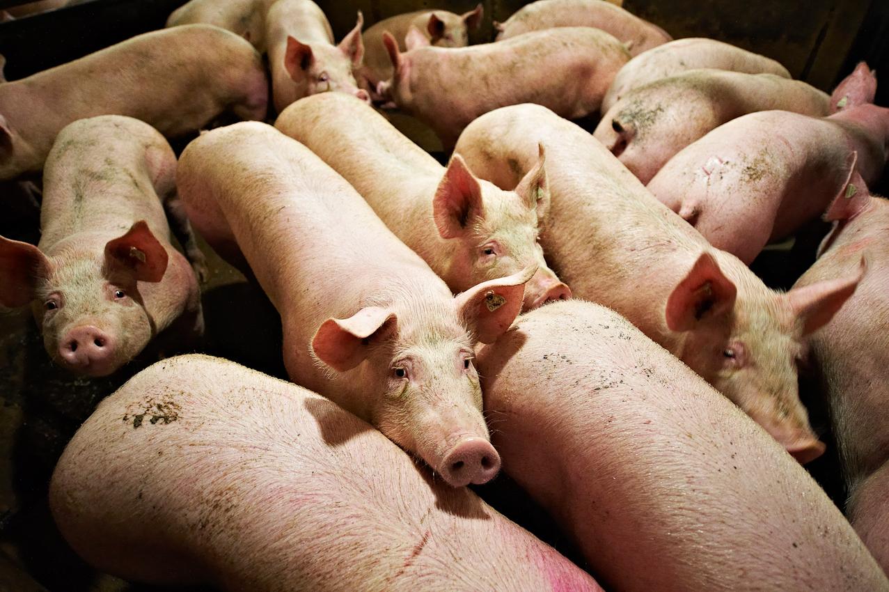 Schlachthof Vogler Fleisch LuckauSchlachthof der Firma Vogler Fleisch 29487 Luckau Ortsteil Steine, Wendland.  Die angelieferten Tiere (hier Schweine) werden geschlachtet, ausgenommen und nach einer Nacht im Kühlhaus von polnischen Gastarbeitern zerlegt. Das Fleisch wird dann an die Kunden (z.B.Supermarktketten/Schlachtereien) geliefert. Bis zur Schlachtung werden die Tiere in abgedunkelten Stallen eingestallt.
